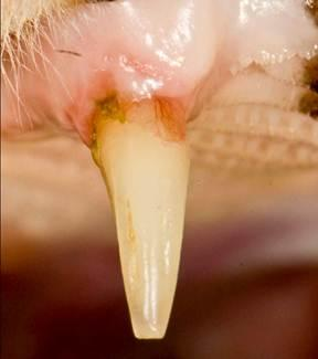 Tooth resorption on cats